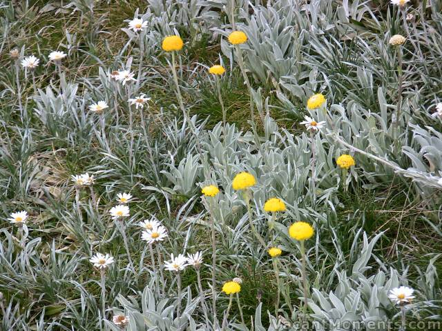 Billy Buttons amongst the Alpine Daisies